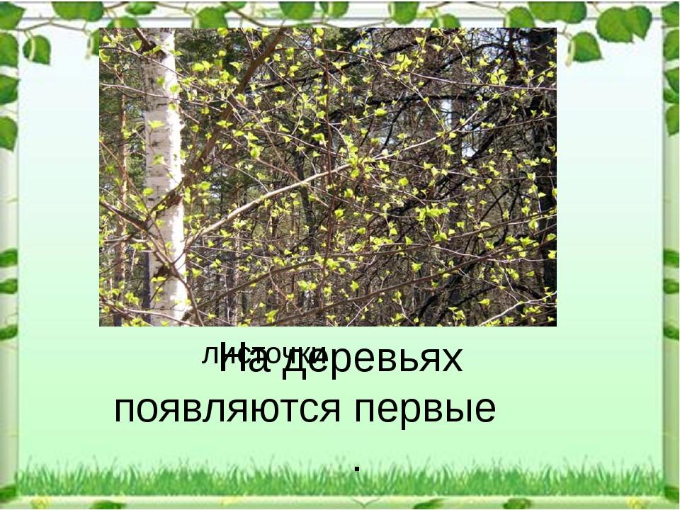 листочки На деревьях появляются первые .