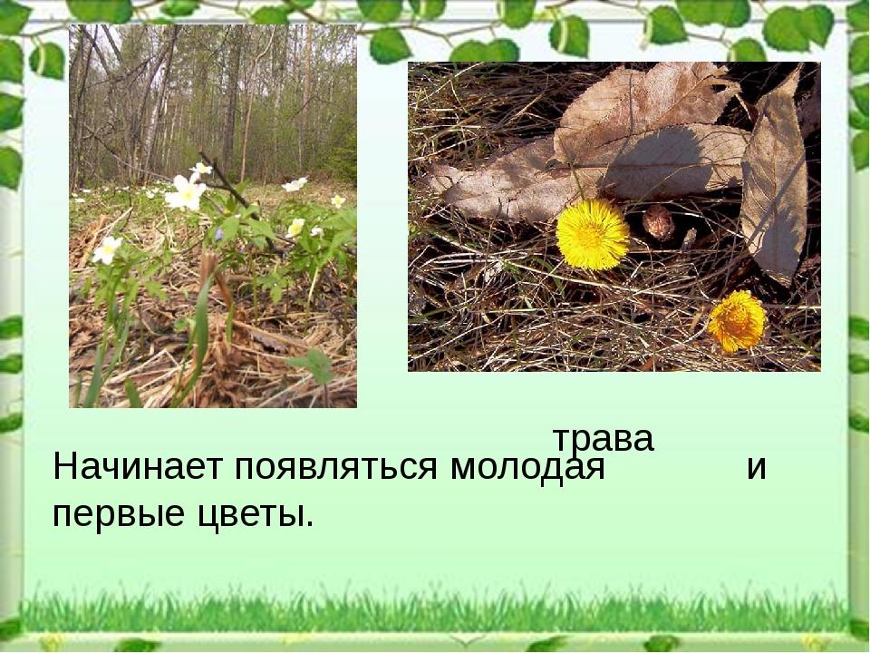 трава Начинает появляться молодая и первые цветы.