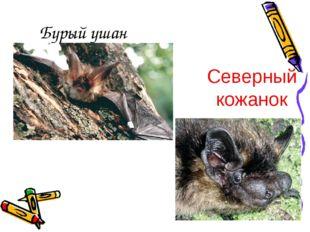 Бурый ушан Северный кожанок
