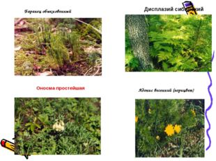 Баранец обыкновенный Дисплазий сибирский Адонис весенний (горицвет) Оносма пр