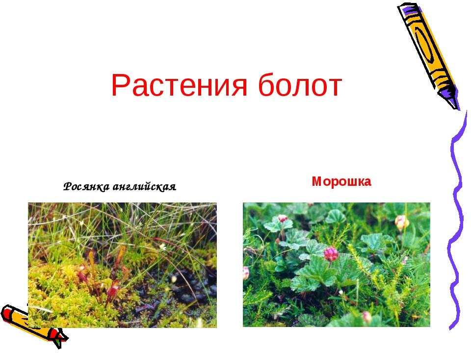 Росянка английская Морошка Растения болот
