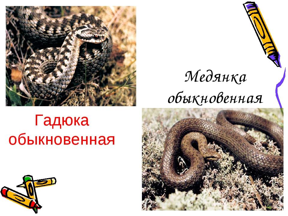Медянка обыкновенная Гадюка обыкновенная