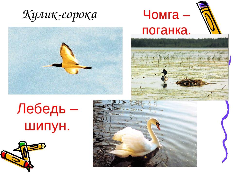 Кулик-сорока Лебедь – шипун. Чомга – поганка.