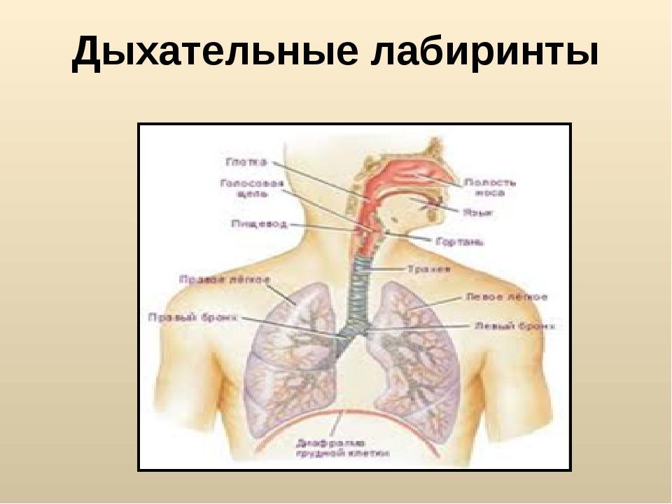 Дыхательные лабиринты