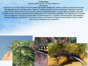 Земноводные Тритон гребенчатый, Лягушка травяная Насекомые Краснотел сетчатый