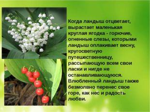 Когда ландыш отцветает, вырастает маленькая круглая ягодка - горючие, огненны