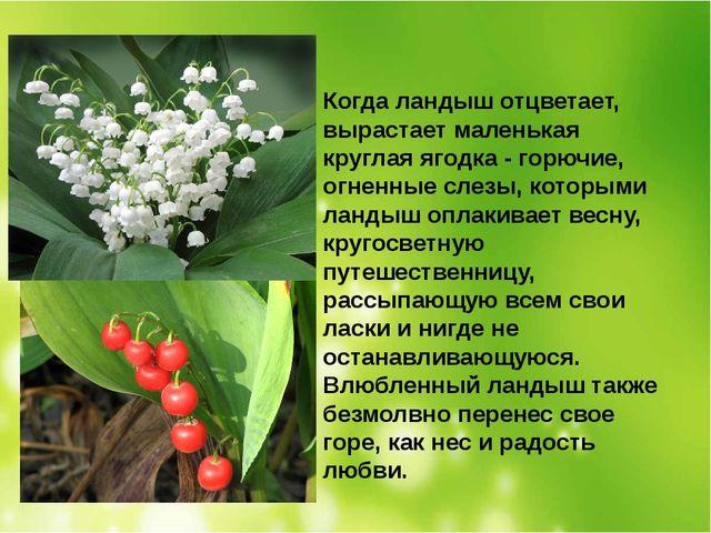 Когда ландыш отцветает, вырастает маленькая круглая ягодка - горючие, огненны...