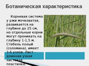 Ботаническая характеристика Корневая система у ржи мочковатая, развивается на