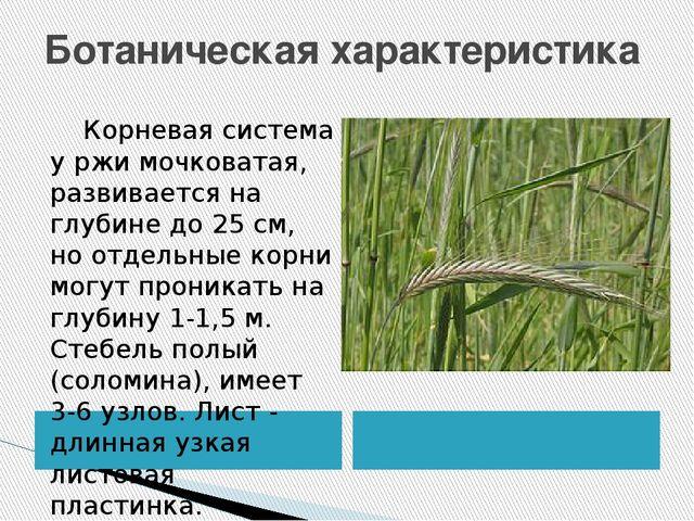 Ботаническая характеристика Корневая система у ржи мочковатая, развивается на...