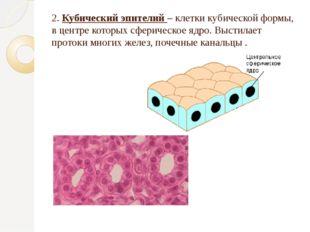 2. Кубический эпителий – клетки кубической формы, в центре которых сферическо