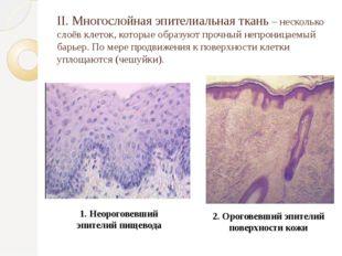II. Многослойная эпителиальная ткань – несколько слоёв клеток, которые образу