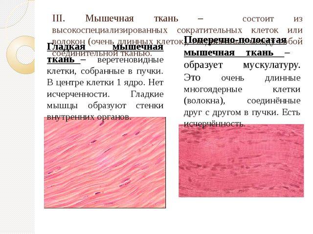 III. Мышечная ткань – состоит из высокоспециализированных сократительных клет...