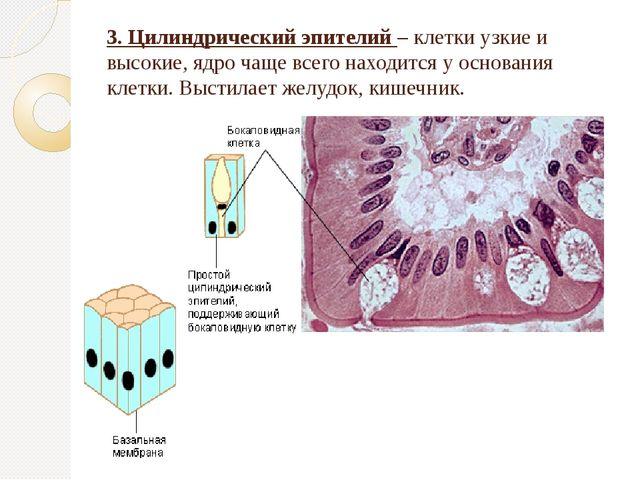 3. Цилиндрический эпителий – клетки узкие и высокие, ядро чаще всего находитс...