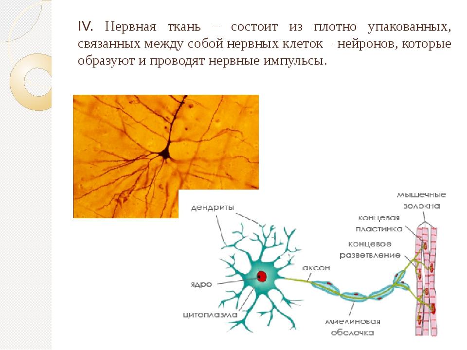 IV. Нервная ткань – состоит из плотно упакованных, связанных между собой нерв...
