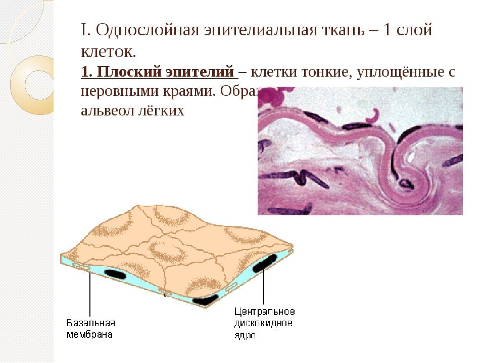 I. Однослойная эпителиальная ткань – 1 слой клеток. 1. Плоский эпителий – кле...