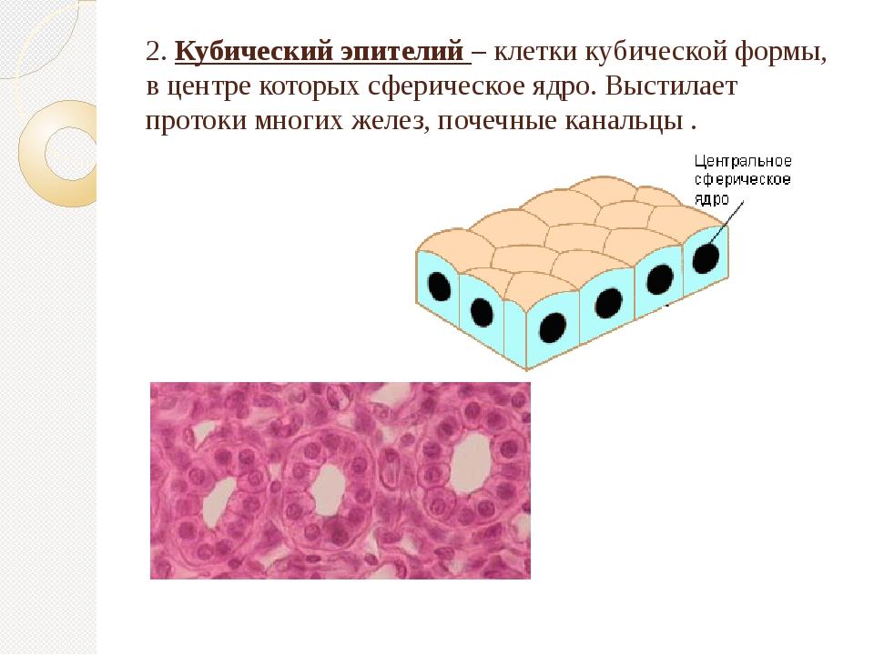 2. Кубический эпителий – клетки кубической формы, в центре которых сферическо...