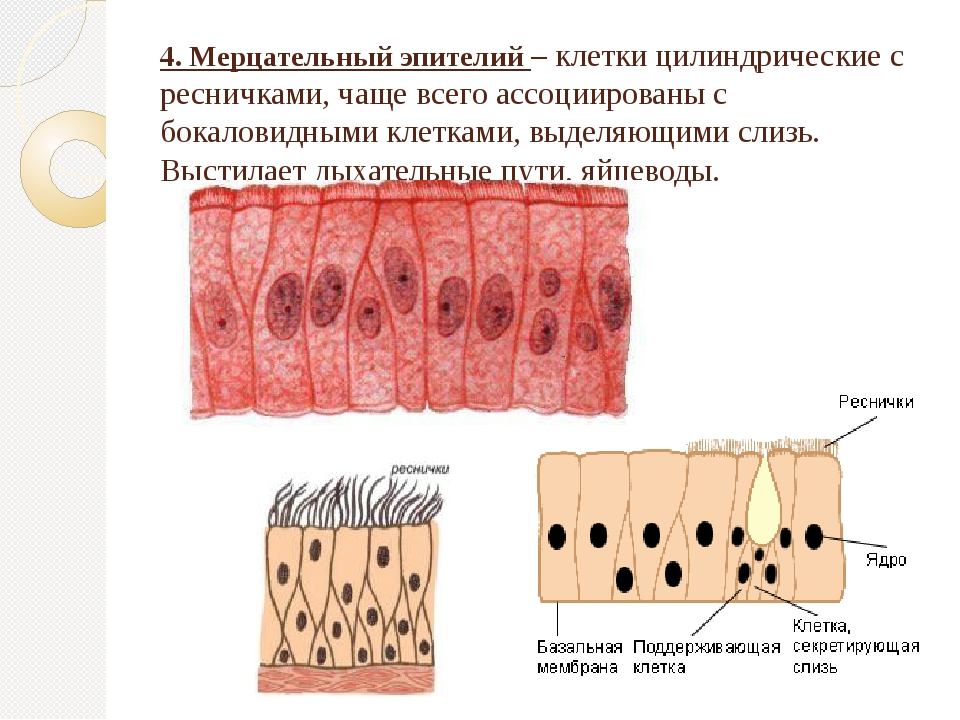 4. Мерцательный эпителий – клетки цилиндрические с ресничками, чаще всего асс...
