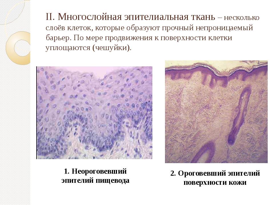 II. Многослойная эпителиальная ткань – несколько слоёв клеток, которые образу...