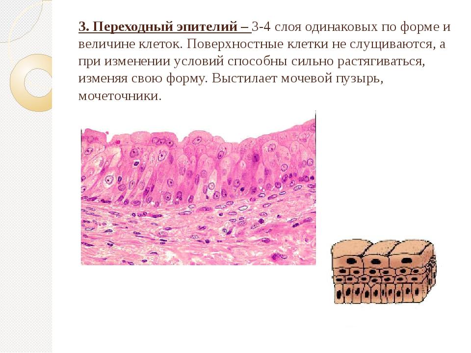 3. Переходный эпителий – 3-4 слоя одинаковых по форме и величине клеток. Пове...