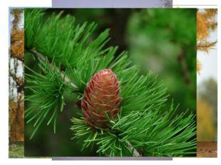 Лиственница Единственное из хвойных деревьев, которое на зиму сбрасывает иго