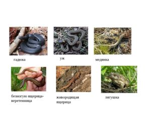 гадюка уж медянка безногую ящерица-веретенница живородящая ящерица лягушка