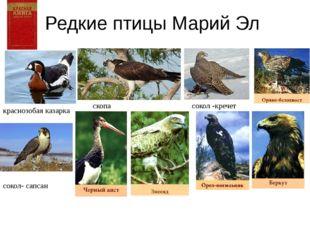 Редкие птицы Марий Эл с краснозобая казарка скопа сокол -кречет сокол- сапсан