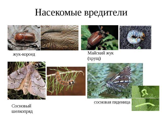 Насекомые вредители жук-короед Майский жук (хрущ) Сосновый шелкопряд сосновая...