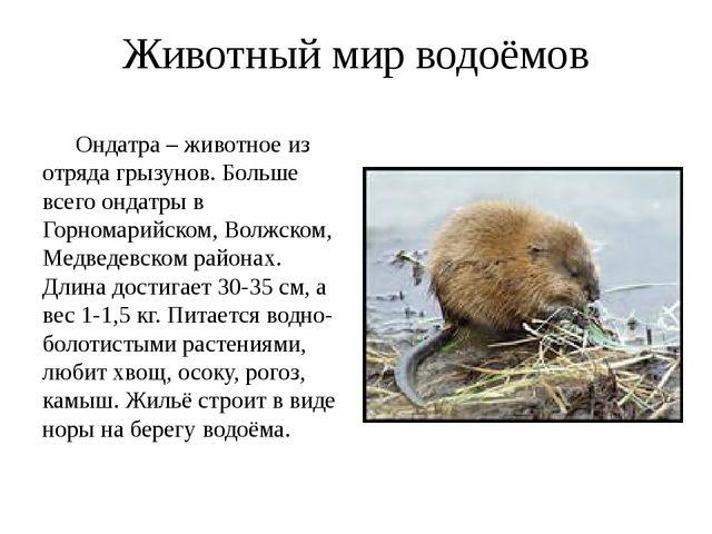 Животный мир водоёмов Ондатра – животное из отряда грызунов. Больше всего онд...