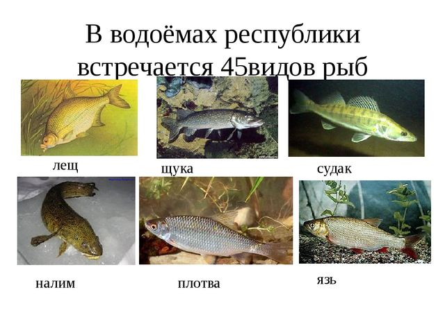 В водоёмах республики встречается 45видов рыб лещ щука судак налим плотва язь
