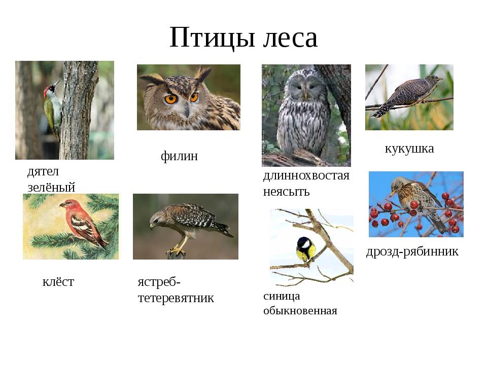 Птицы леса дятел зелёный филин длиннохвостая неясыть кукушка клёст ястреб- те...