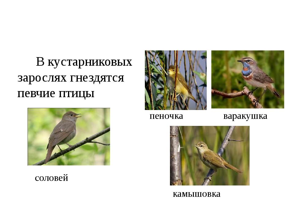 В кустарниковых зарослях гнездятся певчие птицы соловей пеночка варакушка ка...