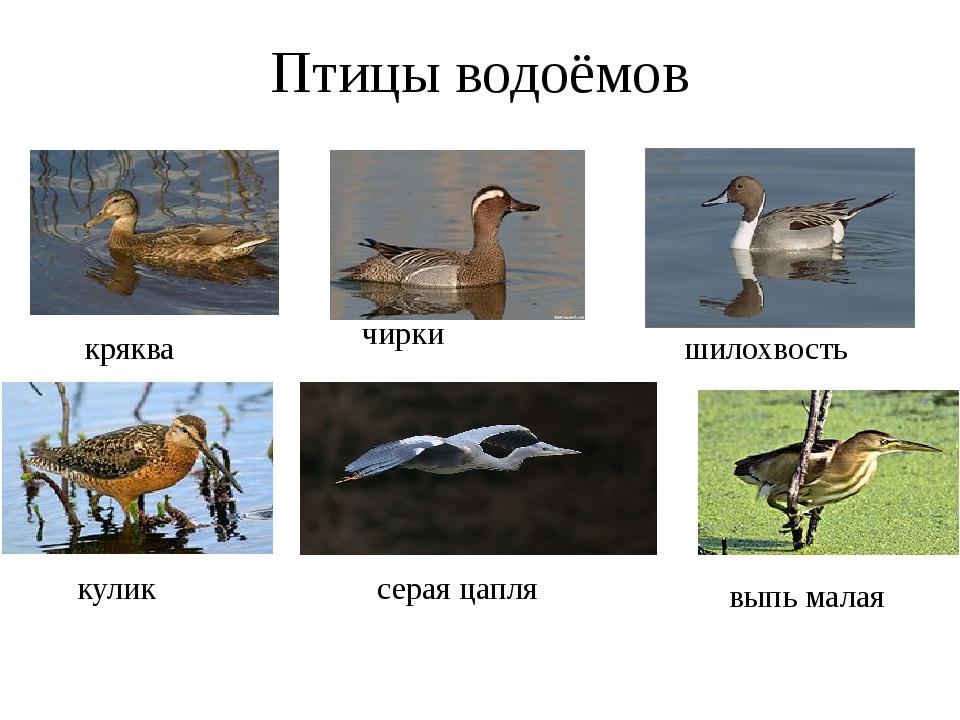 Птицы водоёмов кряква чирки выпь малая кулик серая цапля шилохвость