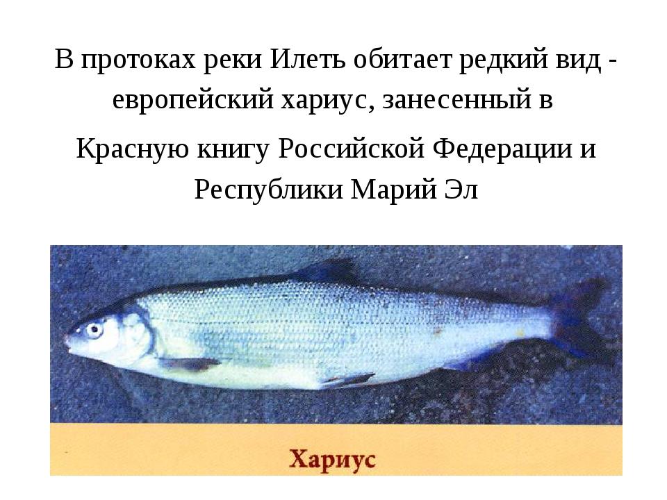 В протоках реки Илеть обитает редкий вид - европейский хариус, занесенный в К...
