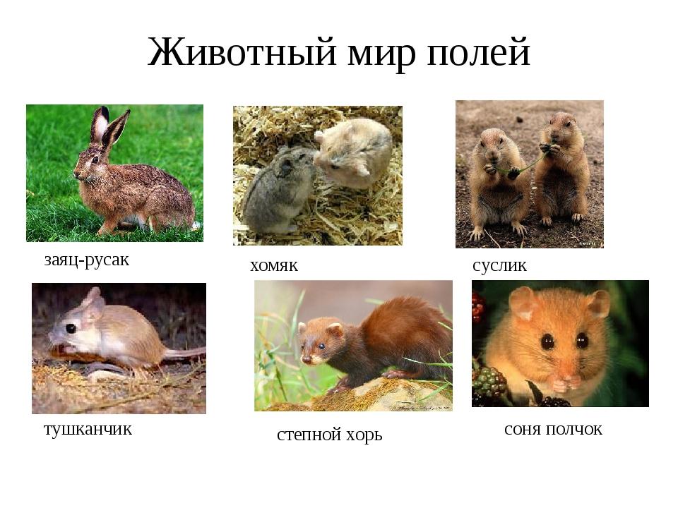 Животный мир полей заяц-русак хомяк суслик тушканчик степной хорь соня полчок