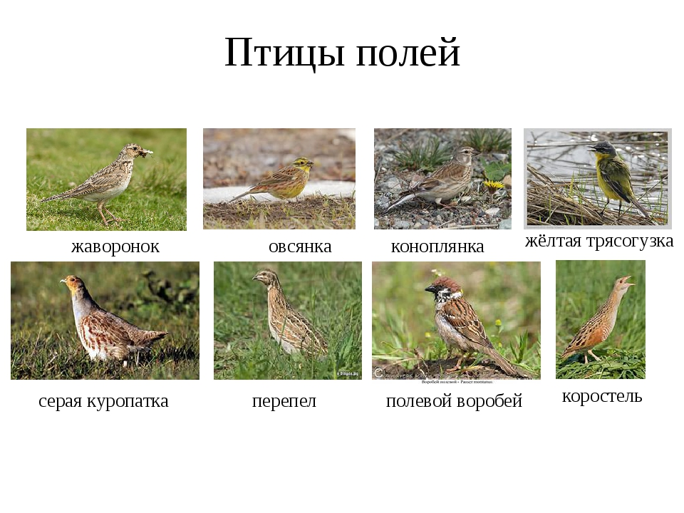 Птицы полей жаворонок овсянка коноплянка жёлтая трясогузка перепел полевой во...