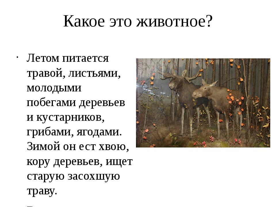 Какое это животное? Летом питается травой, листьями, молодыми побегами деревь...