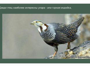 Среди птиц наиболее интересны улара - или горная индейка,