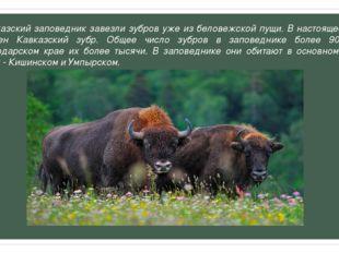 В Кавказский заповедник завезли зубров уже из беловежской пущи. В настоящее в