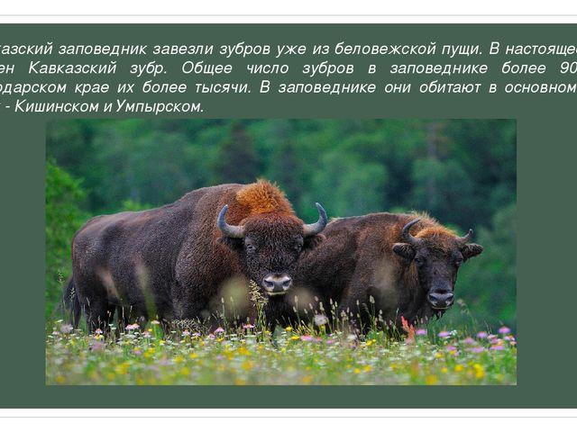 В Кавказский заповедник завезли зубров уже из беловежской пущи. В настоящее в...