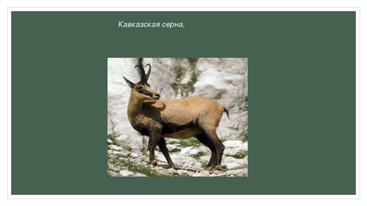 Кавказская серна,