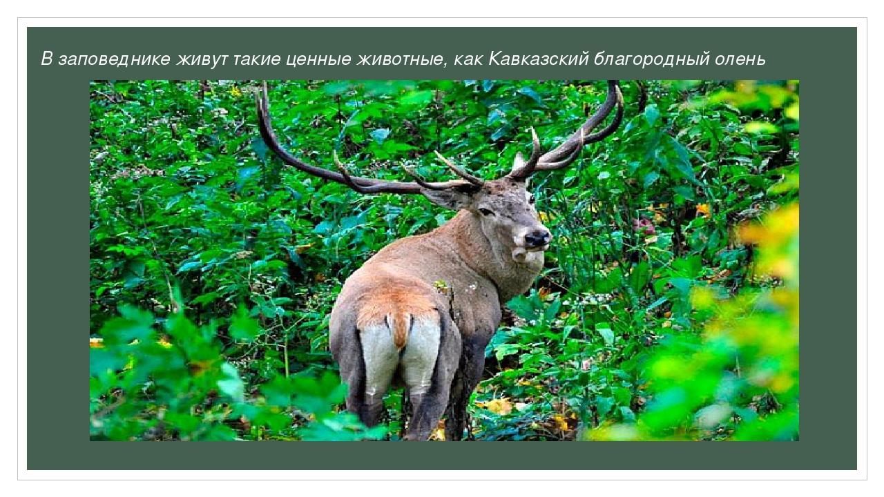 В заповеднике живут такие ценные животные, как Кавказский благородный олень