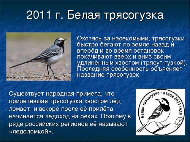 2011 г. Белая трясогузка Охотясь за насекомыми, трясогузки быстро бегают по з...