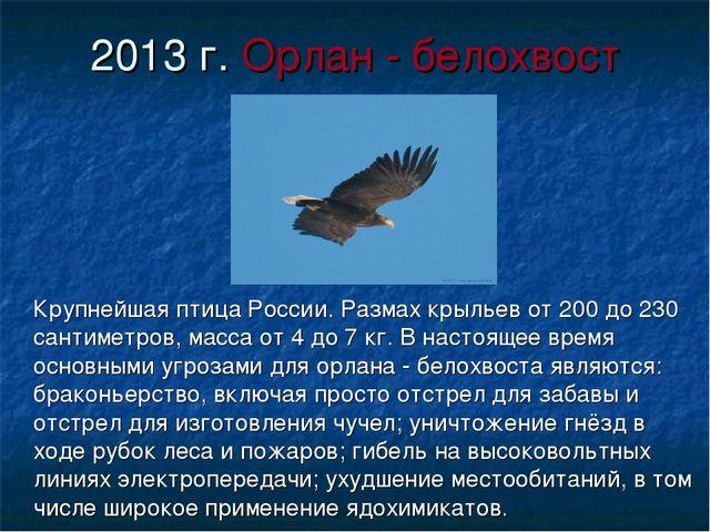 2013 г. Орлан - белохвост Крупнейшая птица России. Размах крыльев от 200 до 2...