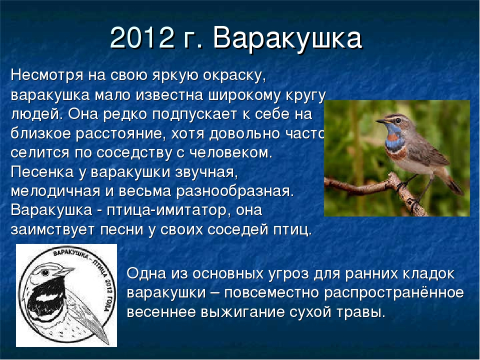 2012 г. Варакушка Несмотря на свою яркую окраску, варакушка мало известна шир...