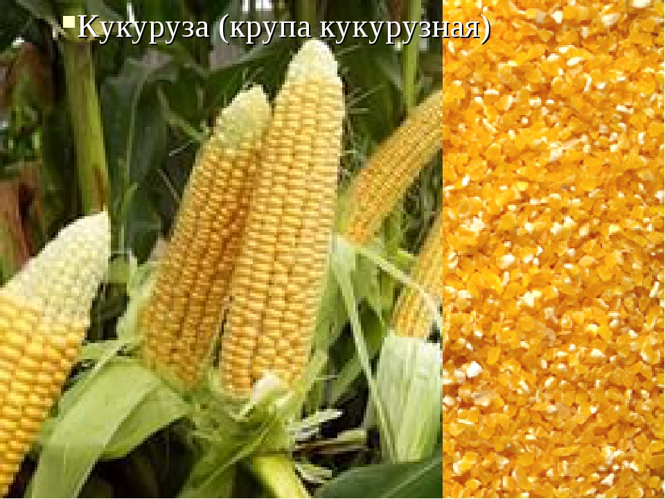 Кукуруза (крупа кукурузная)