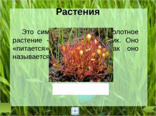 Этот первоцвет получил свое название из-за своих листьев. Снаружи они темные,