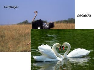 страус лебеди