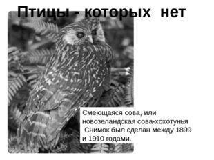 Смеющаяся сова, или новозеландская сова-хохотунья Снимок был сделан между 189