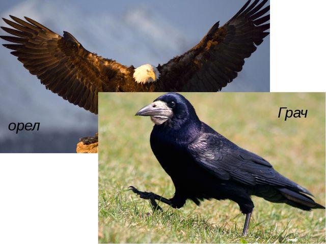 орел Грач