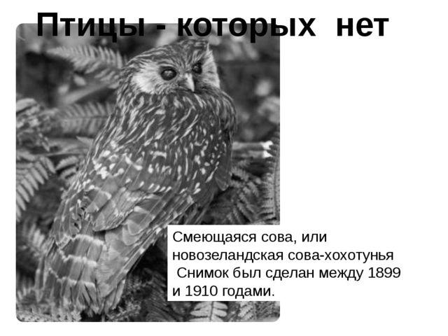Смеющаяся сова, или новозеландская сова-хохотунья Снимок был сделан между 189...